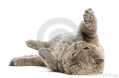 Selkirk Rex lying on its back