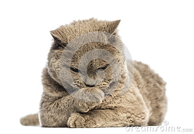 Selkirk Rex lying and looking at its paw