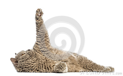 Selkirk Rex lying and reaching
