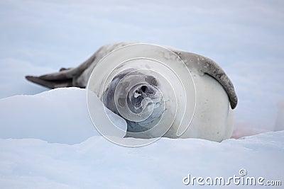 Sello de Crabeater que se reclina sobre la masa de hielo flotante de hielo, Ant3artida