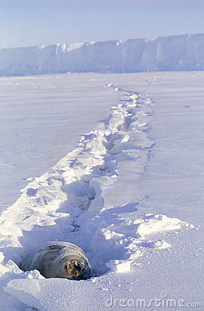 Sello de Weddell que toma el sol