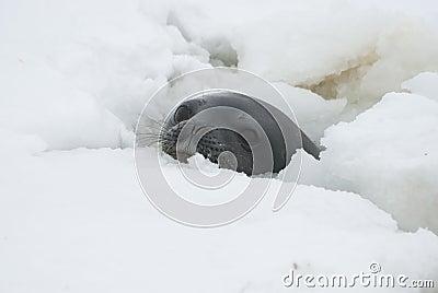Sellos de Weddell en el agujero.