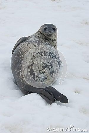 Sellos de Weddell que descansan sobre el hielo.