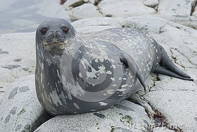 Selos de Weddell nas rochas das ilhas.