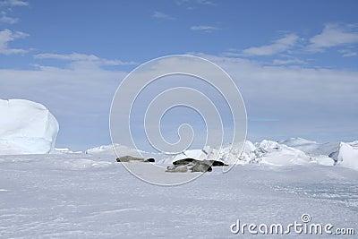 Selos de Weddell (weddellii de Leptonychotes)