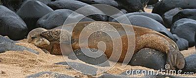 Seltene hawaiische Mönchs-Robbe