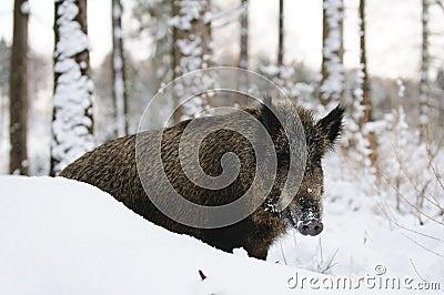 Selvagem-varrão