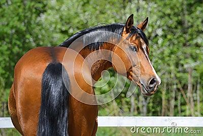 Semental de la bahía de la raza ucraniana del montar a caballo