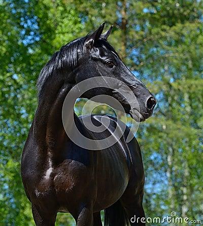 Semental negro de la raza rusa del montar a caballo