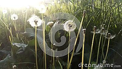 Sementes de dandelion soprando ao vento em um fundo de campo de verão, imagem conceitual que significa mudança, crescimento, movi vídeos de arquivo