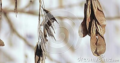 Sementes do bordo seco filme
