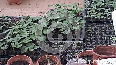 Sementi in coltura sul balcone, piantagioni di ortaggi sul balcone della casa per l'orto da passatempo video d archivio