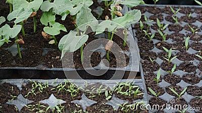 Sementi in coltura sul balcone, piantagioni di ortaggi sul balcone della casa per l'orto da passatempo archivi video