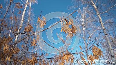 Semi dell'acero nella neve contro il contesto degli alberi forestali di inverno nella neve, senza fogliame contro un cielo blu archivi video