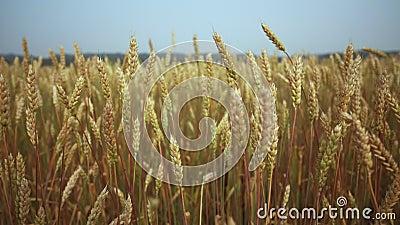 Semillas maduras en cabezas de trigo en grandes campos en el campo Trigo ecológico Cultivo de trigo en crecimiento cerca almacen de video