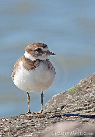 Free Semipalmated Plover Stock Photography - 16010712