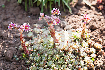Sempervivum plant