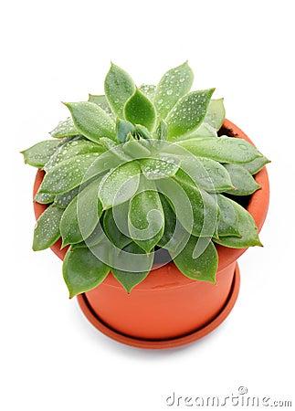 Free Sempervivum Plant In A Pot Stock Image - 25740411