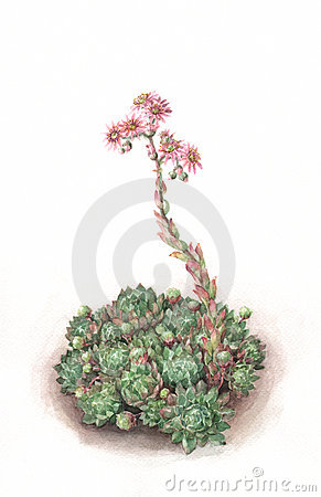 Free Sempervivum Watercolor Painting Stock Photography - 21328882