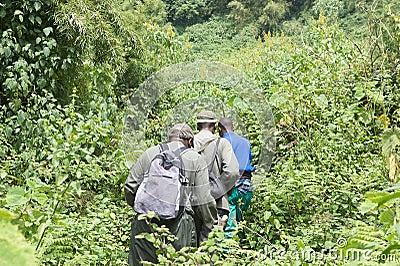 Senderismo del gorila de montaña en el bosque Imagen de archivo editorial
