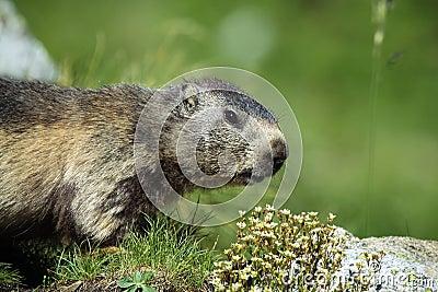 Seneaking Marmot