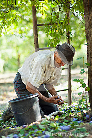 Senior farmer harvesting plums