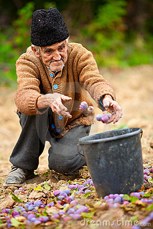 Free Senior Farmer Picking Plums Royalty Free Stock Photos - 17265428