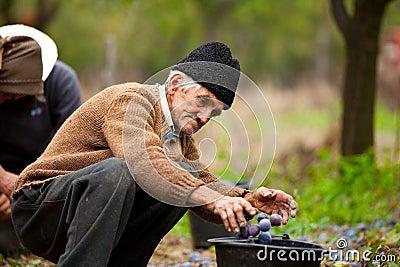 Senior farmer picking plums