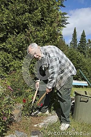 Senior gardener and roses