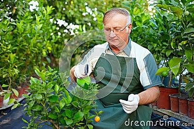 Senior man cares for citrus plants in greenhouse
