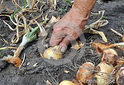 Senior woman harvesting onion
