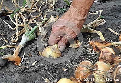 Senior woman harvesting onion