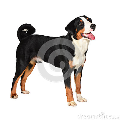 Free Sennenhund Appenzeller Tricolor Dog Isolated On White Royalty Free Stock Images - 30387419