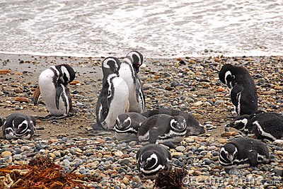 Seno Otway penguin colony - Patagonia Chile