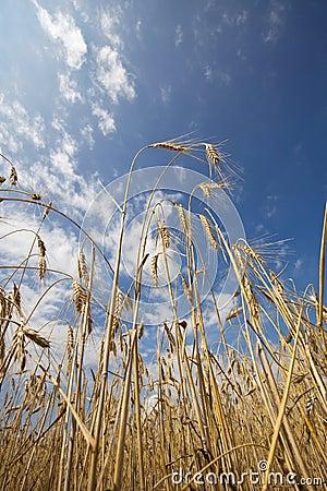 Sense of peace - wheat and blue sky