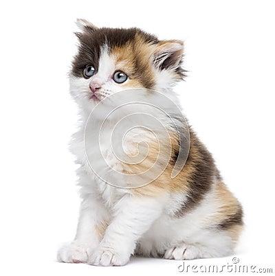 Sentada recta del gatito de la montaña, mirando para arriba, aislada