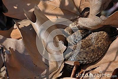 Seoane s viper (Vipera seoanei)