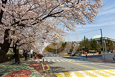 Seoul cherry blossom Editorial Photography
