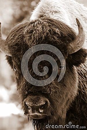 Sepia Bison Portrait