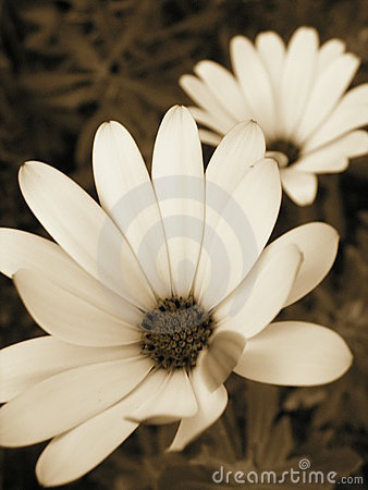 Sepia bloom
