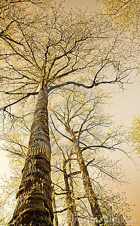 Sepia colored old trees