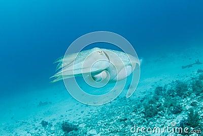 Sepia or cuttlefish