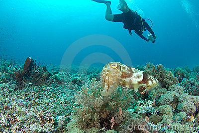 Sepia or cuttlefish and diver in the background