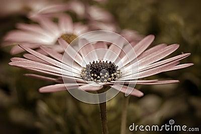 Sepia Daisy