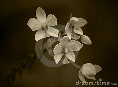 Sepia Orchideeën