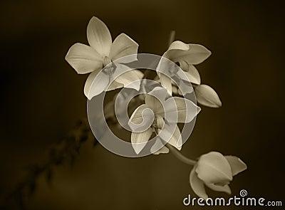 Sepia-Orchideen