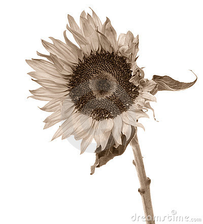 Sepia toned sunflower