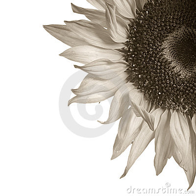 Sepia toned sunflower detail