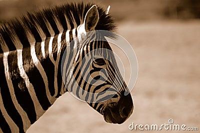 Sepia Zebra