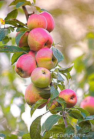 Free September Apples Royalty Free Stock Photography - 3369207